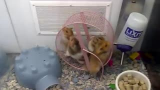 Insane Hamsters at Pet Store - Video