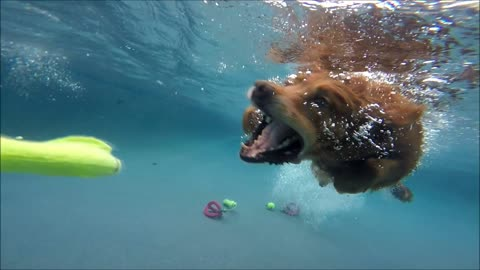Golden Retrievers Campbell & Rusty swim underwater for dog toys