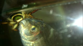 Giant Predaceous Diving Beetle eat fish. - Video