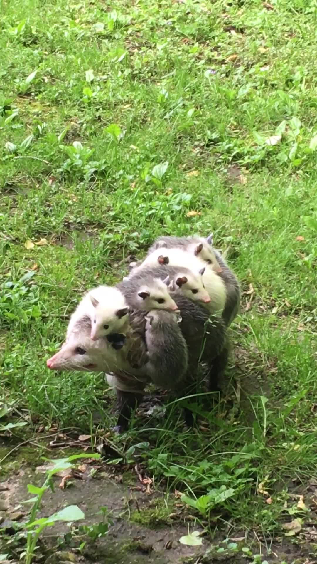Baby Possums Go For a Ride