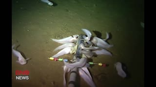 The Mariana Snailfish is the World's Deepest Dwelling Fish - Video