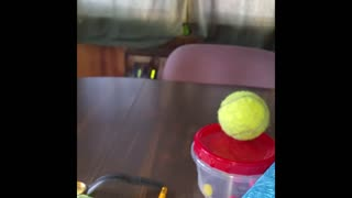 Jumping dog really wants tennis ball