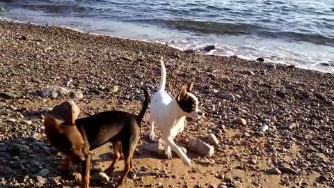 chihuahua dog puppies playing on beach 2