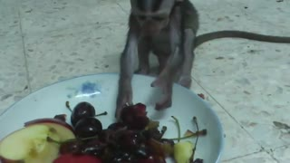 Baby monkey eats fruit for the first time