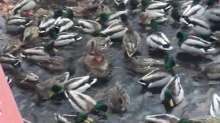 Duck Party  - Video