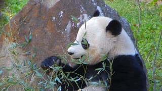 Panda Bear Bao Bao eating bamboo at the National Zoo in DC - Video