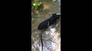 Vladdy the mini pig - swimming in the river - Video