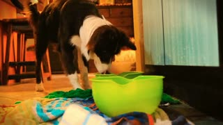 Video Of Border Collie Playing With Ball