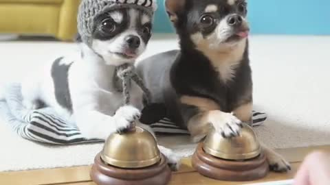 Chihuahua Ring Bells To Sound Of Piano Melody