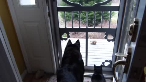 Dog and cat hypnotized by hungry chipmunk