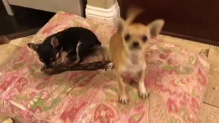Adorable Chihuahua puppy - Video
