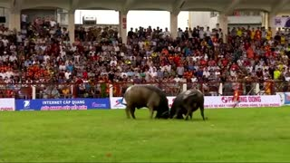 Buffaloes lock horns in Vietnam