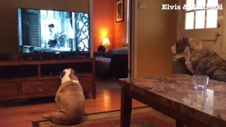Bulldogs extremely excited when favorite movie comes on TV - Video