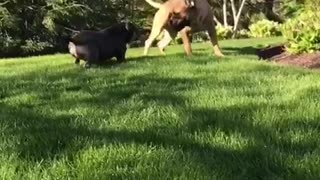Pudge the pit and his brother Winston playing  - Video