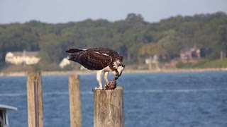 Osprey Feeding on a Fish - Video