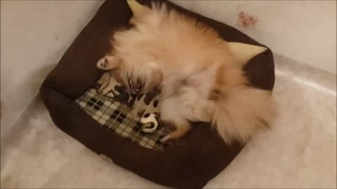 Playful Pomeranian playing with a new ball