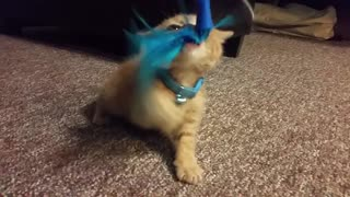 Growling kitten is the cutest hunter you'll ever see