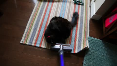 Funny cat obsessed with vacuum cleaner