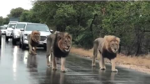 Male Lions Hold Up Traffic While Patrolling Their Territory