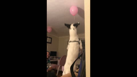 Huge dog jumps for balloon on the ceiling