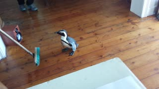 Cute Penguin Walks Into A Restaurant's Kitchen  - Video
