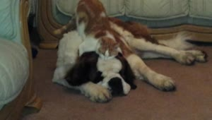 Cat hugs giant adorable dog - Video