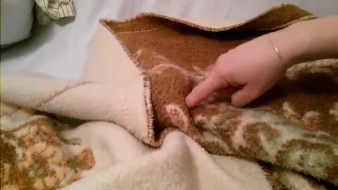 Little Shih Tzu play with blanket