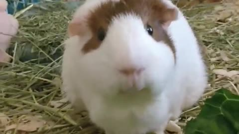 Guinea Pig Eating Cilantro