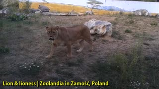 Lion and Lioness at Zoolandia in Zamość, Poland - Video