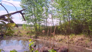 Twin Baby Moose at the pond - Video