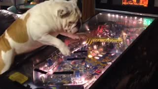 Pinball-loving bulldog keeps himself entertained - Video