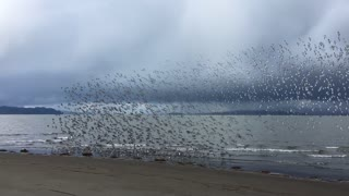 Sandpiper Murmuration - Video