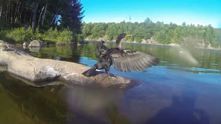 Wild fishing bird has learned to come when called by name - Video
