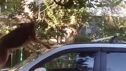 the dog trying to catch the cat jumped on the car