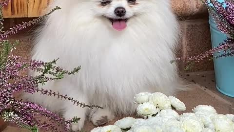 An Adorable White Dog Near White Flowers