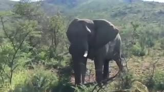 Arnold Schwarzenegger charged by elephant - Video