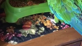 Sam the macaw throws cat food  - Video