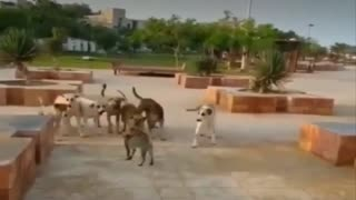 Asymmetric fight a group of dogs and a cat