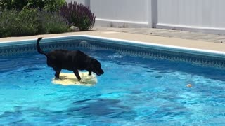 Dog balances on bodyboard to fetch ball from pool