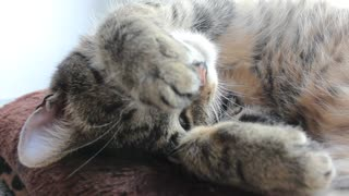 Tired Cat behaves so sweet - Hides behind its paws - Video