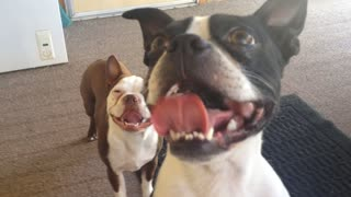 Hilarious Boston Terriers in action - Video