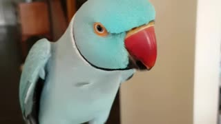 Clever parrot discovers how to whistle - Video