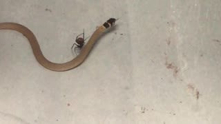 Redback Spider Catches a Snake