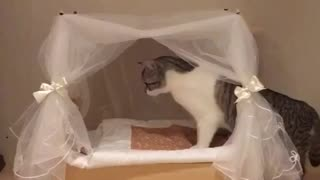 Spoiled cat examines her princess bed - Video