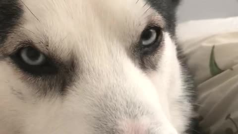 Talking Husky says 'I Love You' to owner