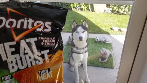 Teasing my Husky with a bag of Doritos (Funny and Cute)