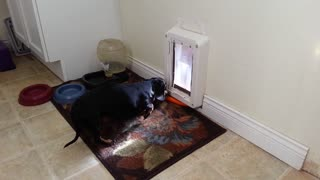 Carrot thief dog is bested by doggy door - Video