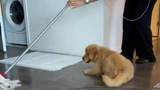 """Helpful"" Golden Retriever puppy ""assists"" with the cleaning"
