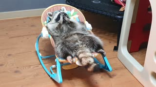 Raccoon lies comfortably in the baby reclined cradle and trims his beard