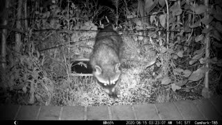 Night Vision Close up of a Raccoon